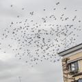 鳩の祭り(爆)
