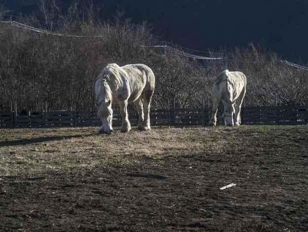陽光に映える白馬たち