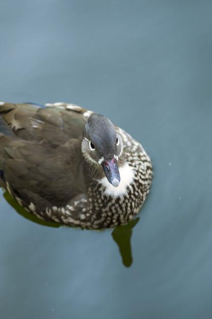 Photos: 綺麗に解像した水鳥(#^.^#)