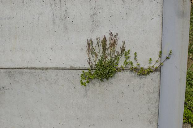 Photos: 絵画的な根性植物