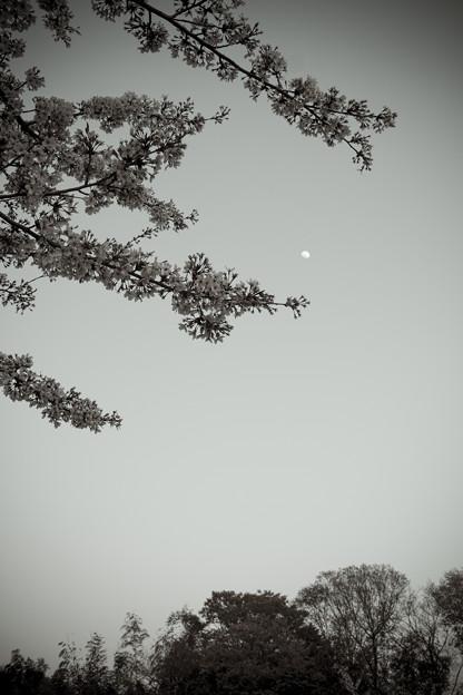 桜と月2014-2