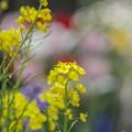 Photos: 出来心で菜の花を撮ってしまった、orz