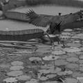 Photos: 飛んだアフリカレンカク