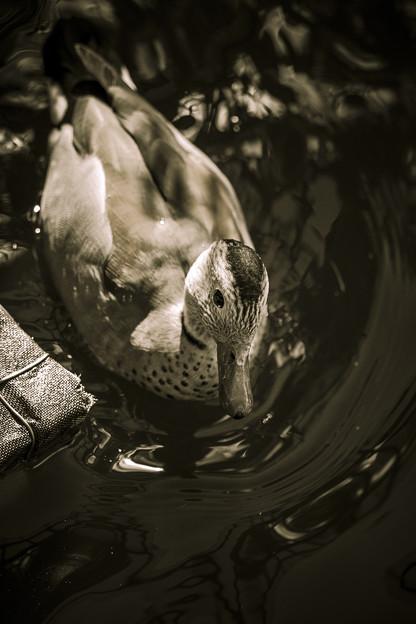 鴨の写真と言うよりは