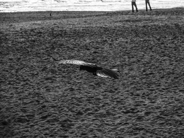 カラスの滑空@鎌倉の海で