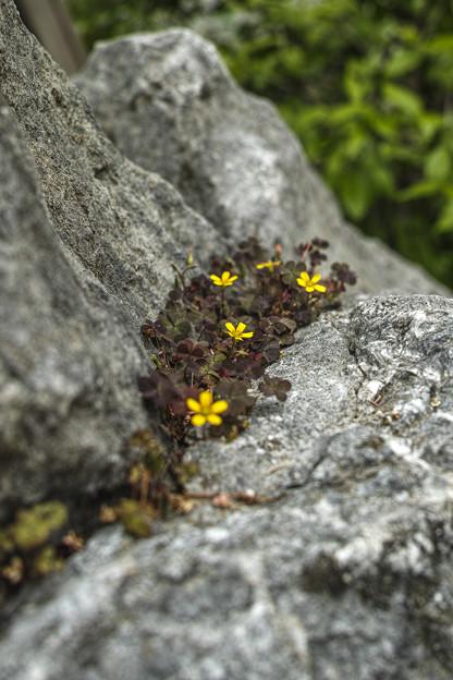 岩上の根性植物