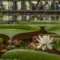写真: オオオニバスの花