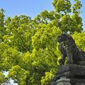 新緑と狛犬