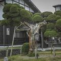 樹齢八百年