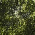 Photos: 新緑を透す光