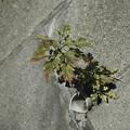 写真: 根性植物は今日も寒空の中頑張っています