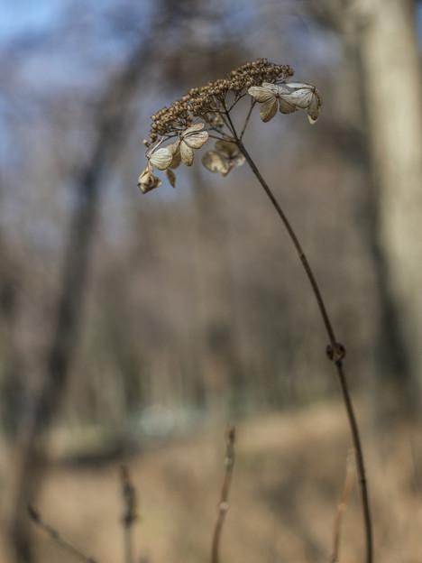 枯れても紫陽花として見事な佇まい