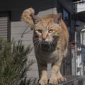 ご近所の仲良し猫、チャッピーの涙(爆)