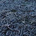 Photos: 霜柱の干物、、