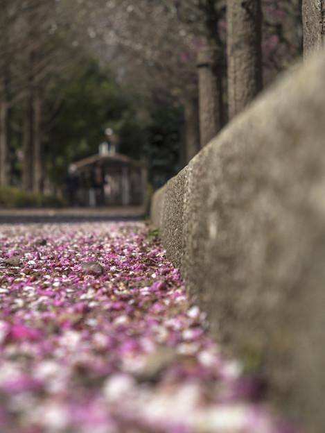 Photos: 猫が見る花びら