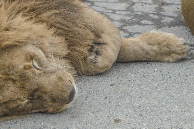 春眠Lion