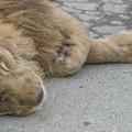 写真: 春眠Lion