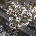 桜の樹を上方から撮る
