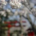 Photos: 鳥居と桜