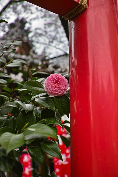 Photos: シャイな乙女椿は鳥居に隠れてた