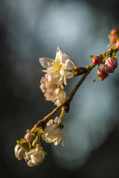 Photos: 正月に咲く、ええ、咲きますとも