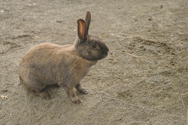 砂の色に同化しそうな兎
