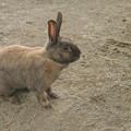 写真: 砂の色に同化しそうな兎