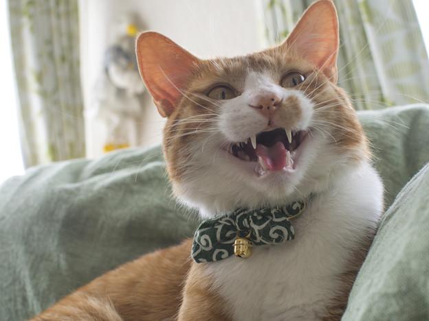 猫の歯の生え代わりと噛み癖