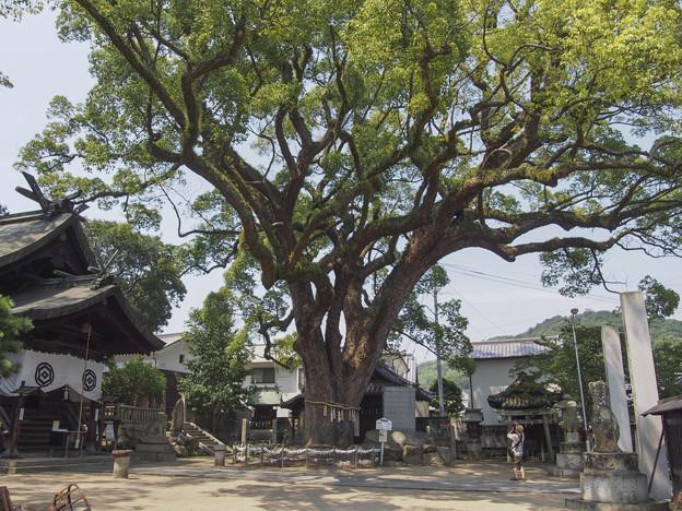 Photos: 樹齢900年だそうです