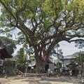 樹齢900年だそうです