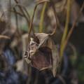 Photos: 花より枯葉