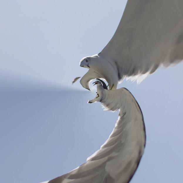 Photos: 白孔雀の飛翔(嘘)