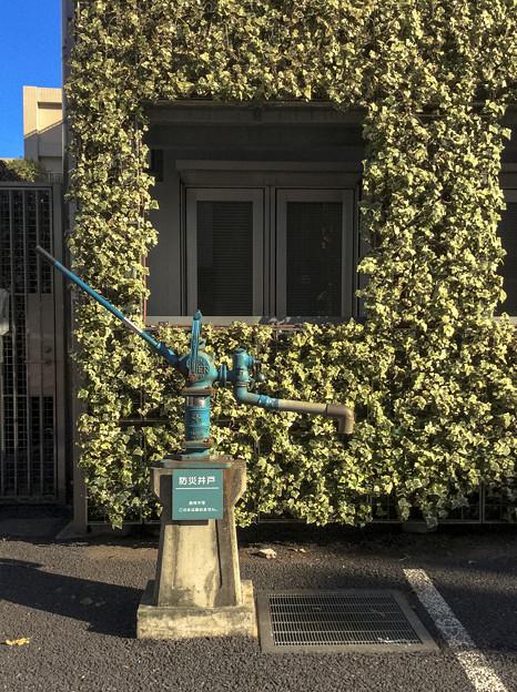 防災井戸と蔦