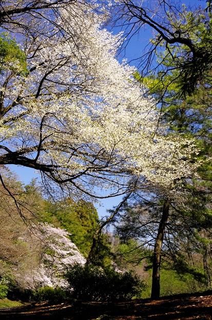 2014桜61「山桜」