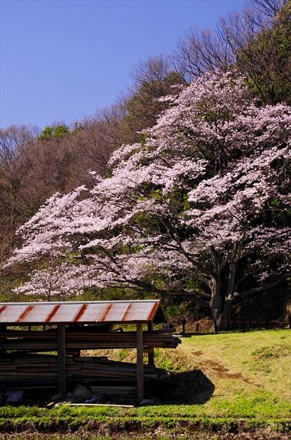 2014桜59「山桜」