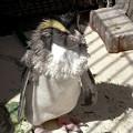 Photos: えりまきペンギン