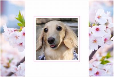 Photos: spring-sakura1-sample