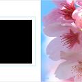 Photos: spring-sakura2