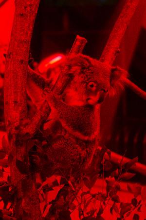 夜のコアラ