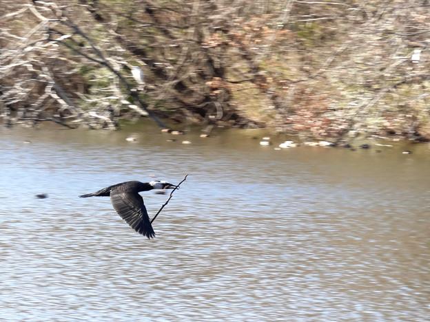 巣の材料を持って飛ぶ