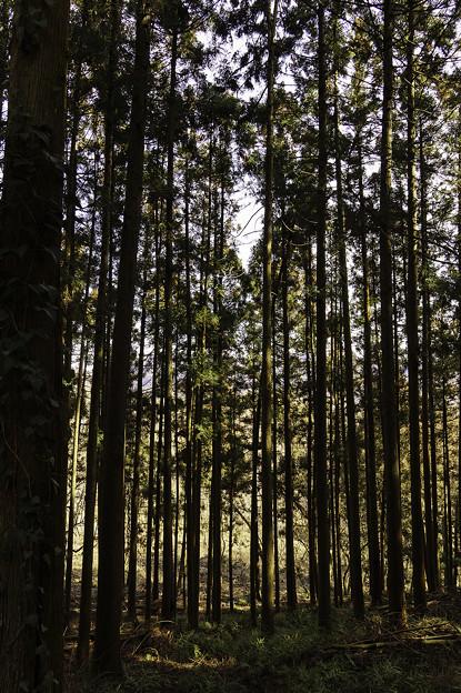 杉林の中を通る光