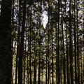 Photos: 杉林の中を通る光