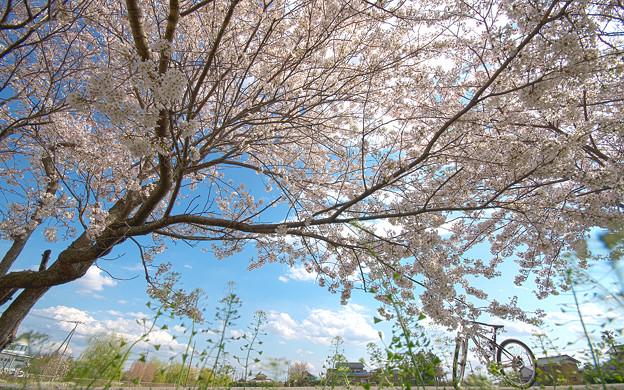 桜の樹の夢