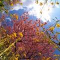 みなみの桜 (10) 南伊豆町下賀茂温泉