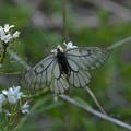 美しき蝶たち