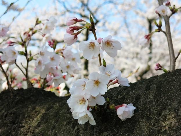 古桜の幹から