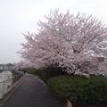 写真: 130330 鶴見川