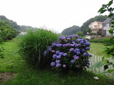 130625 紫陽花