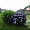 写真: 130625 紫陽花