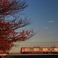 桜紅葉と京急電車